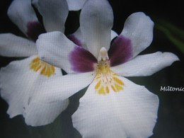 Lovec orchideí